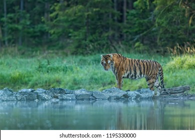 tiger in water,  tiger mirroring in water, beautiful siberian tiger in forest, attractive scene with siberian tiger