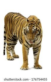 Tiger white background