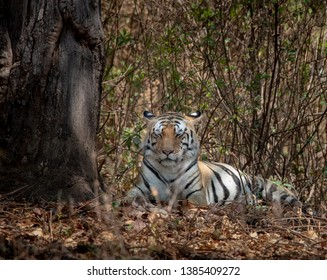 Tiger in the wild at Kanha National Park India