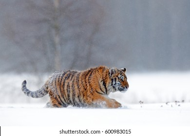 Tiger in wild winter nature.  Amur tiger running in the snow. Action wildlife scene, danger animal. Cold winter, tajga, Russia. Snowflake with beautiful Siberian tiger.