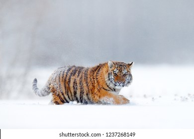 Tiger in wild winter nature, running in the snow. Siberian tiger, Panthera tigris altaica. Action wildlife scene with dangerous animal. Cold winter in taiga, Russia. Snowflakes with wild cat.