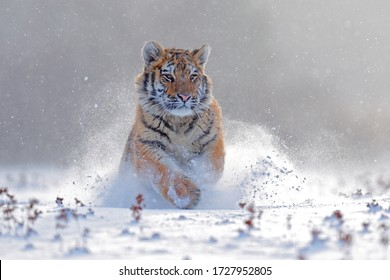 Tiger in wild winter nature, running in the slash snow. Siberian tiger, Panthera tigris altaica. Snowflakes with wild cat. Action wildlife scene with dangerous animal. Cold winter in taiga, Russia.
