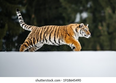 Tiger in wild winter nature, running in the snow. Action wildlife scene with dangerous animal. Cold winter in taiga, Russia. Snowflakes with beautiful Siberian tiger, Panthera tigris altaica