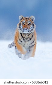 Tiger in wild winter nature with snowy face. Amur tiger running in the snow. Action wildlife scene with dangerous animal. Cold winter in taiga, Russia.