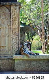 Tiger Yawn 2