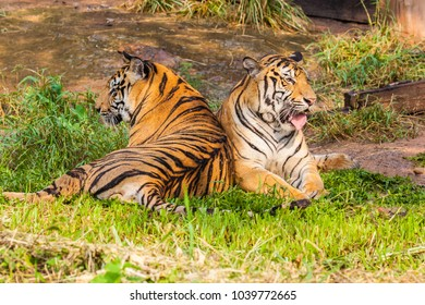 Tiger in the Zoo.