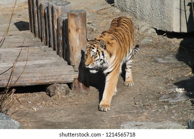 Tiger in Zoo