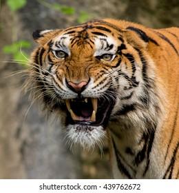 Tiger at the zoo.
