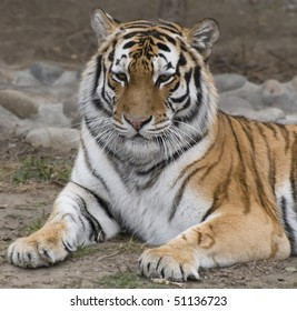 Tiger in the Zoo