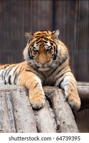 Tiger in a zoo with fallen snow