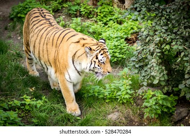 Tiger in a zoo in Leipzig, Germany