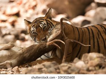 Tigeress (Noor) killing a deer, Ranthambore Tiger Reserve