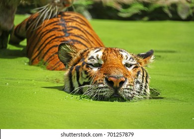 Tiger,nature,water,zoo,outdoor,amazing