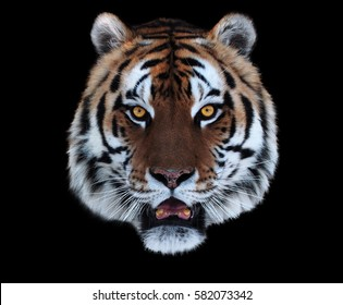 Tiger's face with opened mouth isolated on black