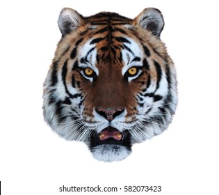 Tiger's face with opened mouth isolated on white