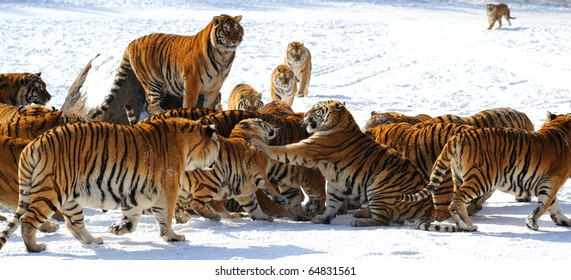 Tigers in the fighting over