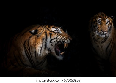Tigers get angry, it looking mad.