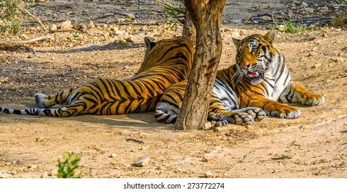 Tigers hide in the shade from the heat