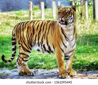 tigers of indian zoo