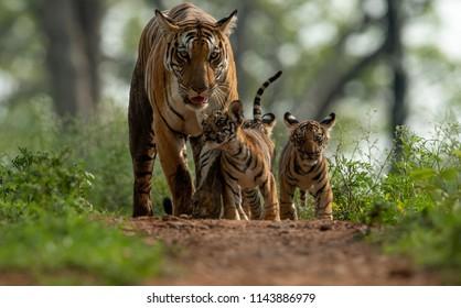 Tigers of Kanha