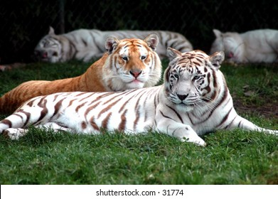 tigers lazing in the sun, all of them white tigers except one orange one.