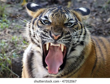 Tiger's Mighty Roar