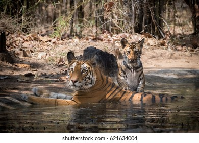 Tigers, mom with cub