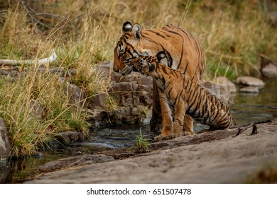 Tigers in the nature habitat. Tigers family, mom and cub by the water. Wildlife scene with danger animal. Hot summer in Rajasthan, India. Dry trees with beautiful indian tiger, Panthera tigris