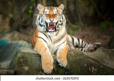 Tigers roar sleeping on rocks.