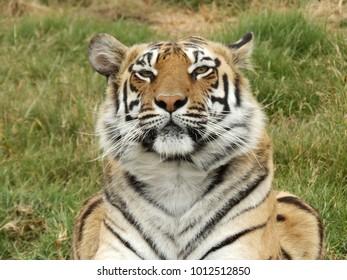Tigers in sanctuary
