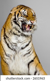 Tiger's Snarling in front of a grey background. All my pictures are taken in a photo studio
