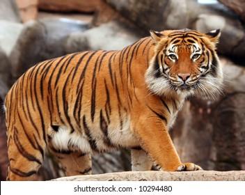 Tigers stare