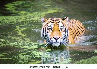 Tigers sunbathing outdoors