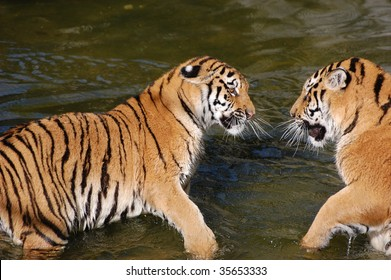 Tigers in the water