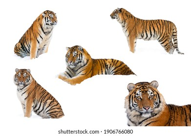 tigers in winter, tigers collage isolated on white background