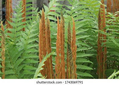 Tight brown fronds intermingle with green leafy fronds on a cinnamon fern (Osmunda cinnamomea) in spring May 2020.