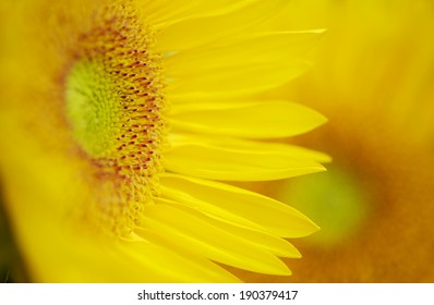 Tight focus on a Beautiful Yellow Sunflower...