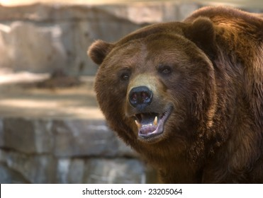 A tight image of the face of a captive grizzly bear showing its teeth