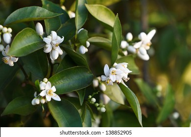 Tight shot of orange blossoms and buds selectively focused with oranges in background.
