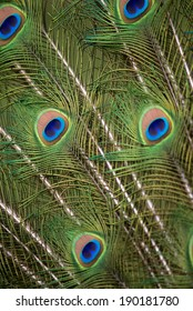 Tight shot of Peacock tail feathers