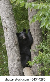 Tight Squeeze.  Young adult black bear (Ursus Amricanus) is wedged snugly between two trees.