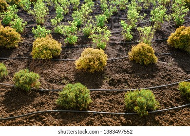 Tightly-framed semi-abstract of rows of overground hosepipe irrigation system and young plants in soil with directional sun backlighting.