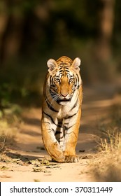 Tigress bright Head-on