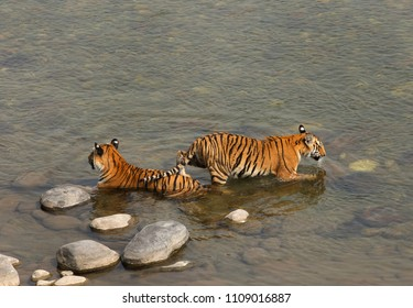 Tigress cub getting into river passing from the top of mother, Jim Corbett Tiger Reserve