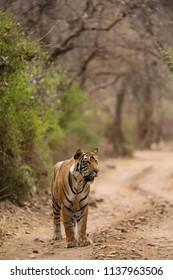 Tigress cub on the road at Ranthambore Tiger Reserve