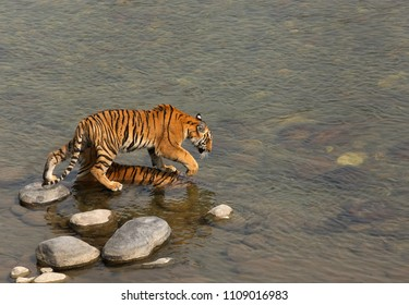 Tigress cub passing from the top of mother to enter Ramganga river at Jim Corbett Tiger Reserve