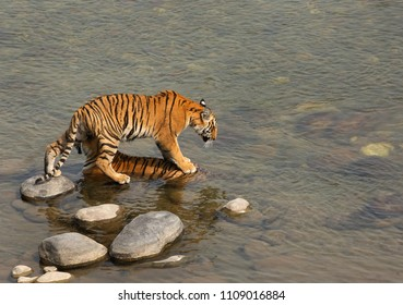 Tigress cub putting his step on mother to enter in Ramganga river at Jim Corbett Tiger Reserve