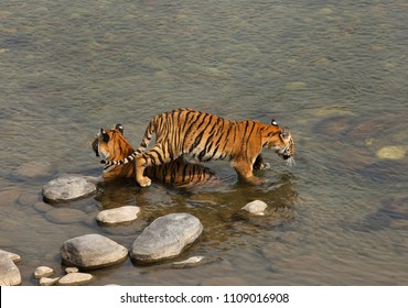 Tigress and cub in Ramganga river at Jim Corbett Tiger Reserve