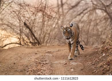 Tigress cub at Ranthambore Tiger Reserve