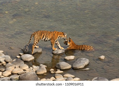 Tigress cub taking steps on boulder to reach near his mother at Ramganga river in Jim Corbett Tiger Reserve